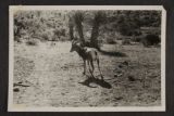 Billy the Bighorn sheep that was a pet at Walking Box Ranch.  This photo is from an unidentified...