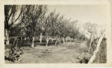 Photograph of the orchard on the Las Vegas Ranch, circa 1905