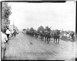 Film transparency of a 20-mule team in the Helldorado Parade, Fremont Street,  Las Vegas, Nevada,...