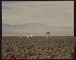 Photograph of Dorothys and others in cotton field, Pahrump (Nev.), circa 1951