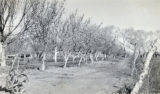Photograph of an orchard at the Las Vegas Ranch, circa early 1900s