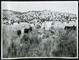 Photograph of horse teams and wagons crossing the desert, (Nev.), 1900-1925