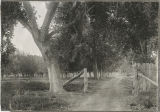 Photograph of an orchard on the Las Vegas Ranch, Las Vegas (Nev.), 1900-1925