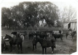 Photograph of horses and cattle on the Las Vegas Ranch, Las Vegas (Nev.), 1900-1925